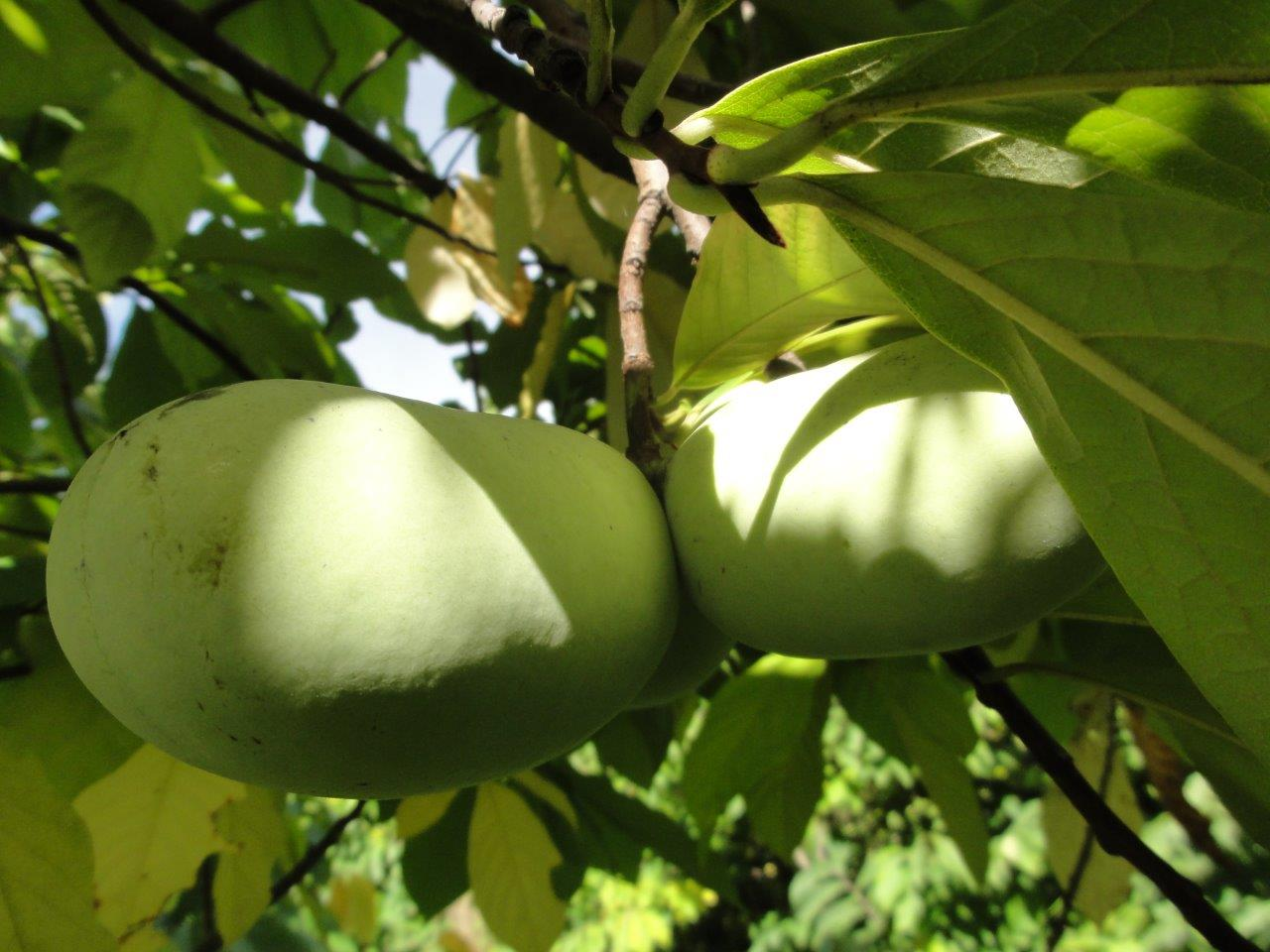 Summer Delight<br> pawpaw tree