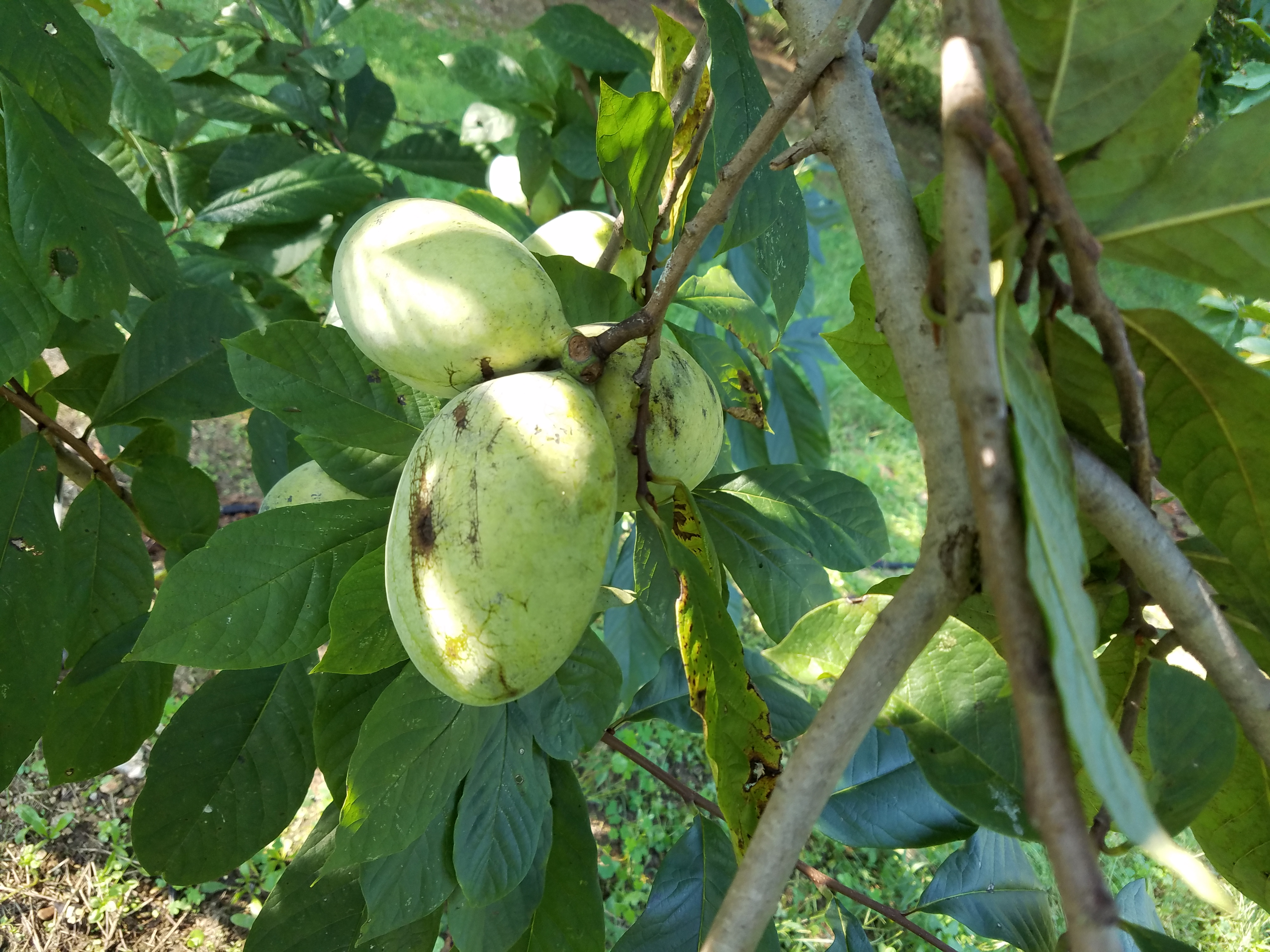 Summer Delight<br> pawpaw fruit