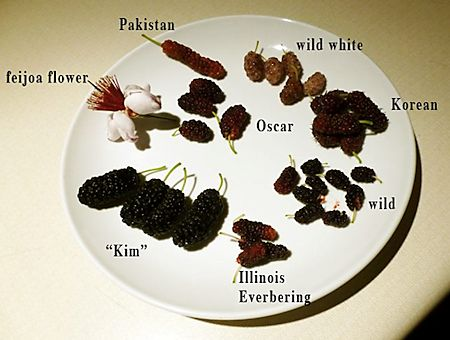 Mulberry Varieties