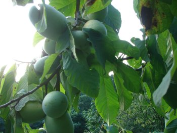 Summer Delight Pawpaws on Tree