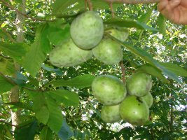 pawpaw fruit from premium seed